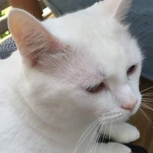 Vit hankatt, 7kg, kastrerad, innomhuskatt, rumsren, lungn bland andra katter(även hankatter), halft döv, lite lättskrämd, kelig, älskar att bli borstad, väldigt snäll, lydig. Kontakta för mer info💕